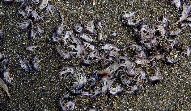 WASHED UP: Lyall Bay is littered with thousands of sea creatures.