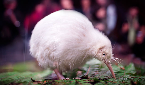 Homeward: Manukura, a rare white kiwi, is on its way home after recuperating at Wellington Zoo. It is pictured here at Pukaha nocturnal house at Mt Bruce.
