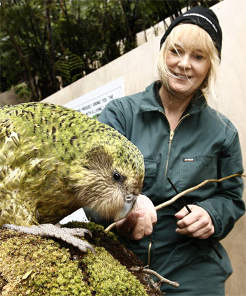 HEAD CASE: Sirocco, the head-humping kakapo, gets  help from American bird expert Barbara Heidenreich at Zealandia.