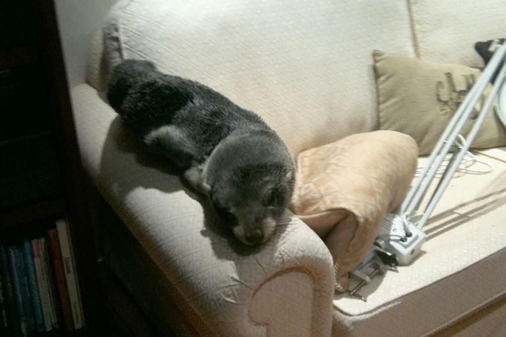 A wandering baby fur-seal which made it into a Bay of Plenty house gets comfortable.