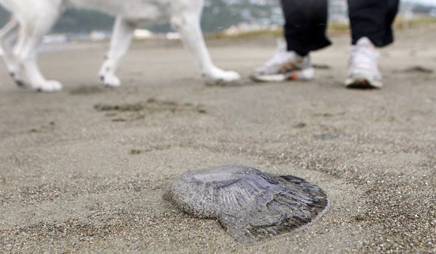 INUNDATED: Lyall Bay Beach in Wellington has been inundated with Jellyfish this week