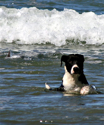 BLISSFULLY UNAWARE: Pig dog Flea plays in the water at Blue Cliffs Beach, unfazed by the shark behind him.