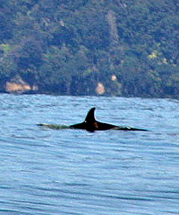 ON A MISSION: An orca prowls off Blue Cliffs Beach on Boxing Day.