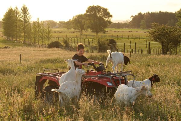 KIDDING AROUND: Jordan Dick on his goat herd during a balmy summer evening in Ngahinapouri.
