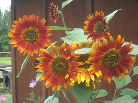 IN BLOOM: Janine Vicars captured some of the arm colours of summer in this Huntly garden.