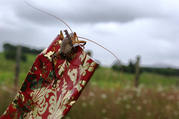 CRACKER TIME: Courtney Lynch caught this curious weta clambering over a Christmas cracker.