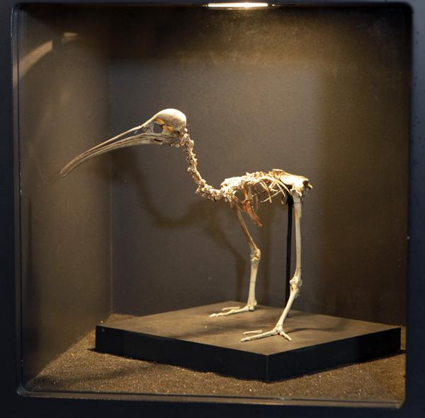 EXTINCT: The flightless snipe-rail - Capellirallus karamu - once roamed the area.