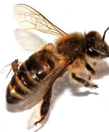 A photo provided by San Francisco State University show an Apocephalus borealis fly implanting its eggs into the abdomen of a honey bee.