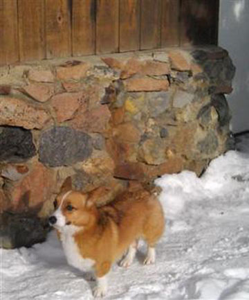 Ole the Welsh corgi that showed up at a motel four days after the dog and its owner were swept up in an avalanche.