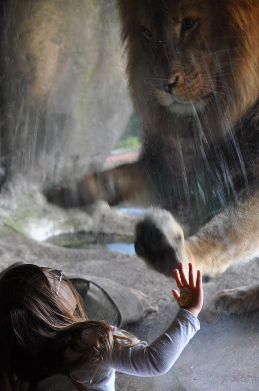 Wellington toddler Sofia Walker facing down male lion Malik at Wellington Zoo. A video of the interaction has earned international attention online.