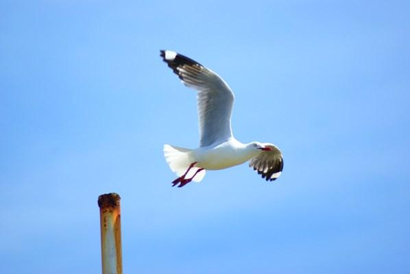 TAKING FLIGHT: Dylan Meynell had to be qucik to capture this seagull.