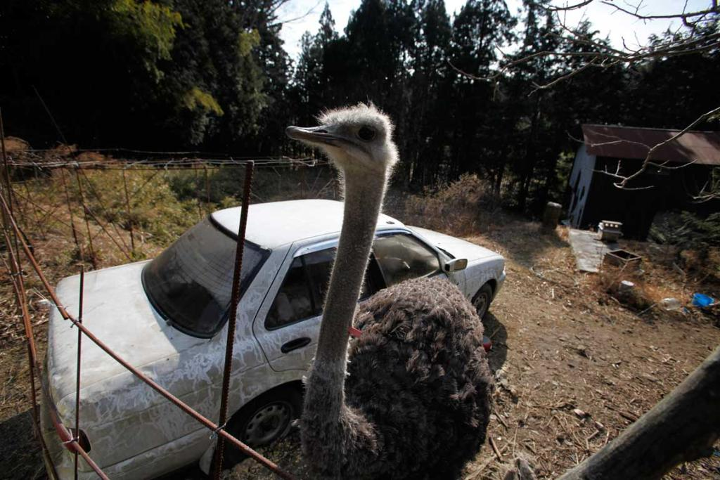 An ostrich which had escaped from a farm in Tomioka town.