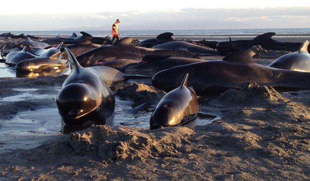 SMALL CHANCE OF REFLOATING: A pod of 99 pilot whales stranded at Farewell Spit in Golden Bay on Monday. There were previous mass strandings in the area in January and November.