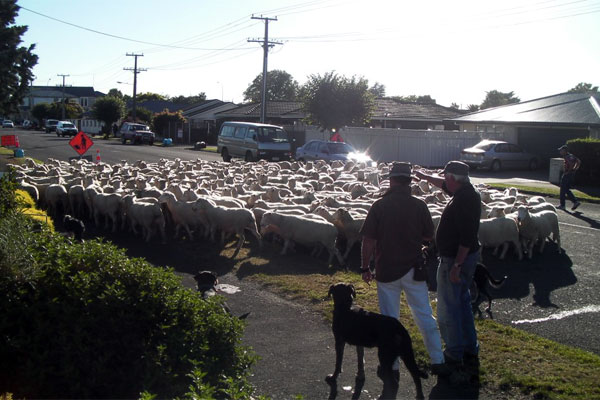 Sheep lose in Masterton