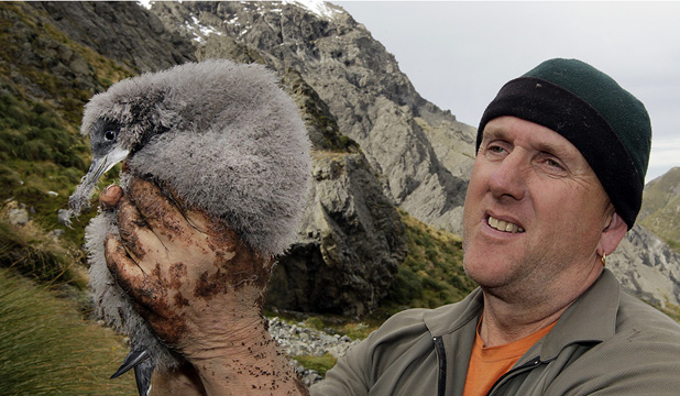 GOT EM: DOC biodiversity project manager Phil Bradford with an endangered Hutton's shearwater chick to be moved from its mountain home high in the Seaward Kaikoura Range.