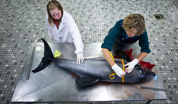 DETAILED WORK: Pathologist  Wendi Roe carries out an autopsy on an adult female Hector's dolphin, under the watchful eye of her 11-year-old daughter, Kristi.