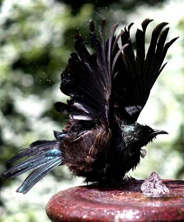 ON SONG: Tui in the Auckland area are believed to have an accent that is more attractive to female mates.