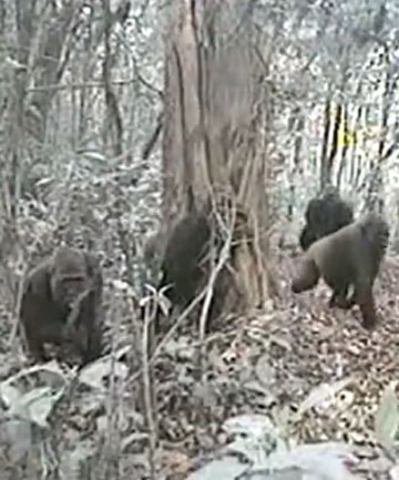 Rarest Gorillas