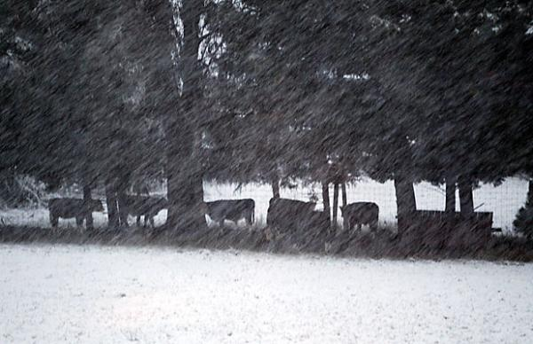 Cows sheltering from snow