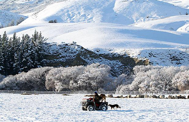 CHILLY WORK: Matt Sixtus, Washcreek farm manager, ensuring his Waipara stock are surviving in the snow.