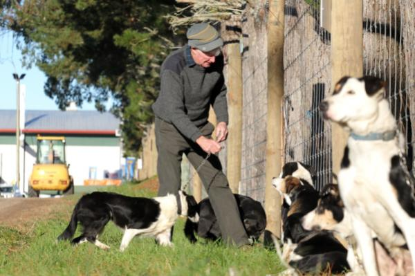 Ian mayall of TeAroha ties up his dogs ahead of the sheep dog trials.