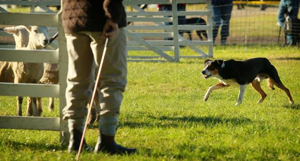 "Alan Smith, from Matamata, with his dog ""Nick"" at the Sheepdog trials on day 2 of Fieldays.