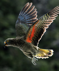 ENDANGERED: A kea, like this one pictured at the Otira Gorge, has died after being hit by a rock thrown by a child at Porter Heights Ski Area.
