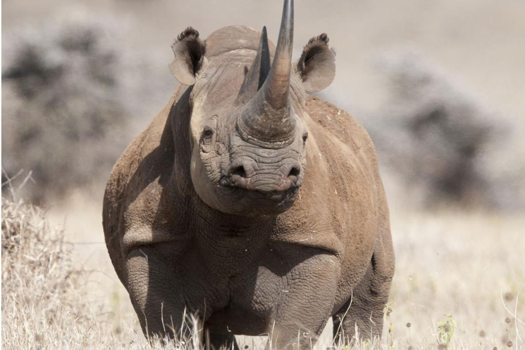 Laikipia has half of the remaining population of black rhino.
