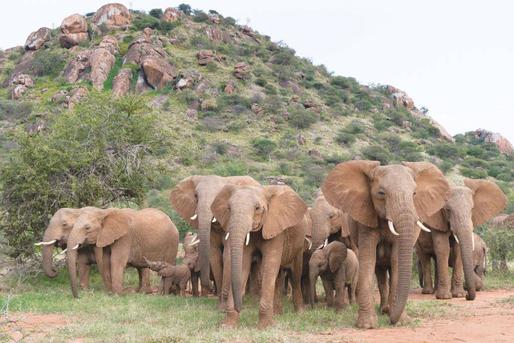 Elephants live in tightly bonded groups of related females and their offspring, each moving within larger, extended social communities of families all known to each other.