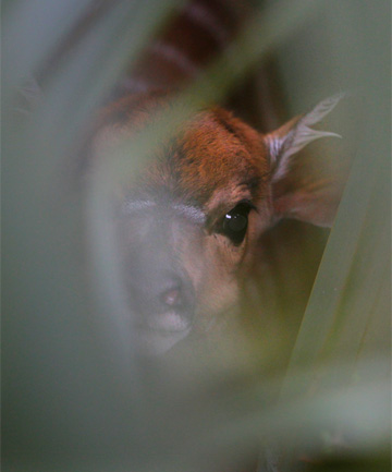 SHY ONE: A new baby Nyala stays well camouflaged amongst the flax at Wellington Zoo.