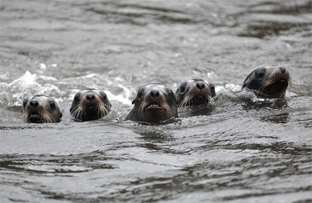 How nz risks sea lions 39 survival - University of auckland swimming pool ...