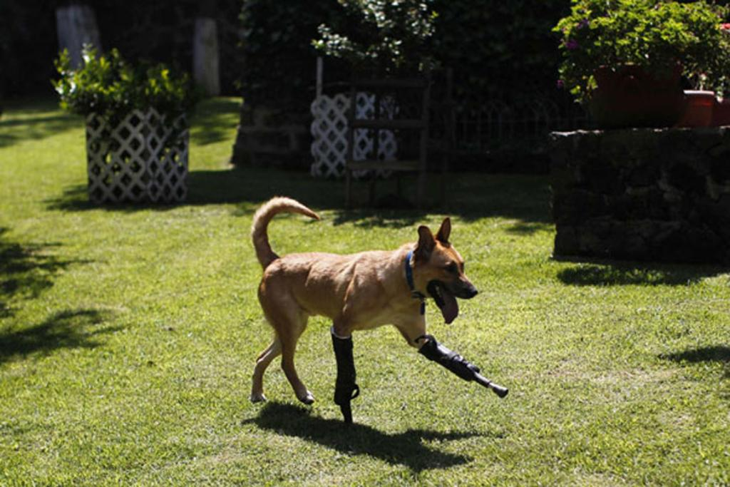 Pay de Limon (Lemon Pay) runs fitted with two front prosthetic legs at Milagros Caninos rescue shelter in Mexico City.
