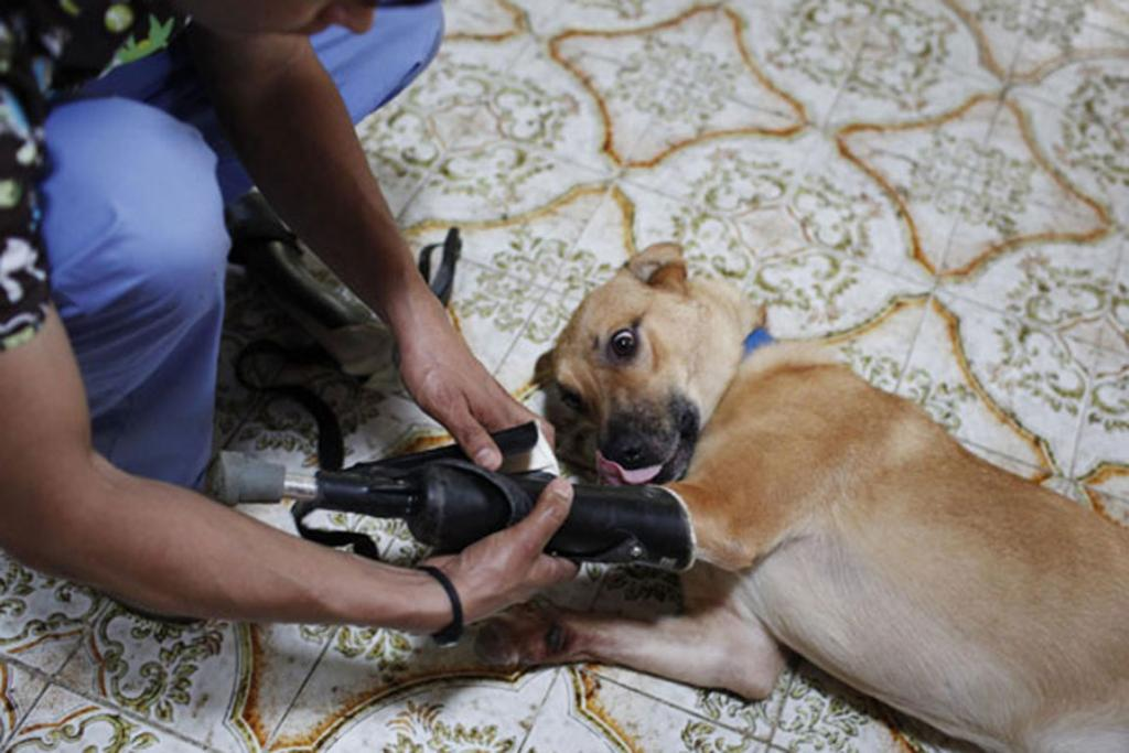 Pay de Limon (Lemon Pay) is fitted with two front prosthetic legs at Milagros Caninos rescue shelter in Mexico City.