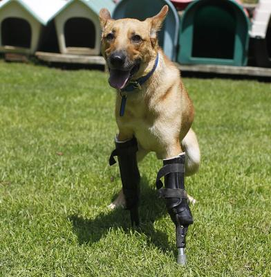 Pay de Limon (Lemon Pay) fitted with two front prosthetic legs at Milagros Caninos rescue shelter in Mexico City.