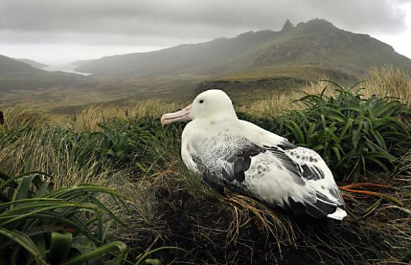 A Southern Royal albatross on a nest on Campbell Island