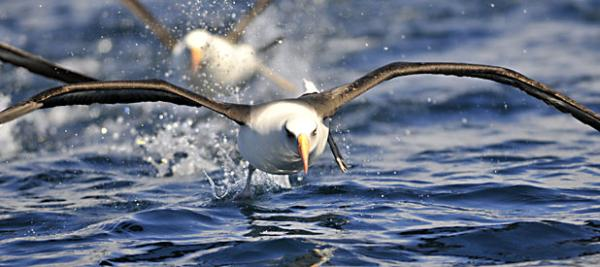 A Campbell Island albatross taking off near Campbell Island.