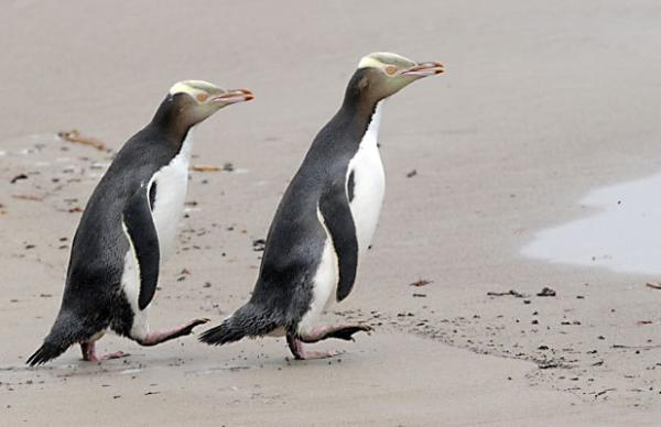 Yellow eyed penguins on the beach at Enderby Island