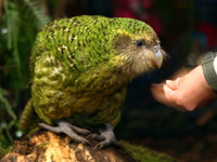 SIROCCO: The rare flightless parrot is in Waikato on a six week visit.