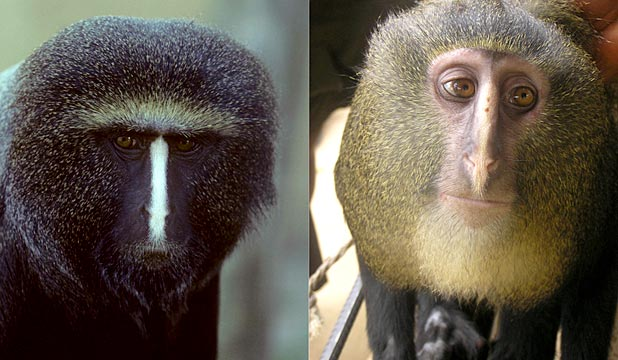 DIFFERENT STROKES: A captive adult male Cercopithecus hamlyni, left, and an adult male Cercopithecus lomamiensis (the newly identified species), right.