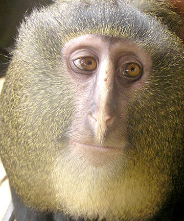 Meet lesula, the world's newest monkey species