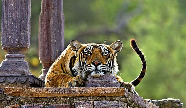COOL FOR CATS: A tiger strikes a relaxed pose in Ranthambore National Park, Rajasthan.