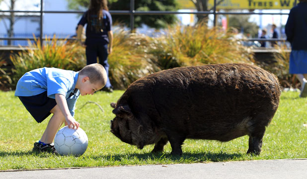 GRUNTY OPPOSITION: Woolston School pupil Max von Dorp meets his match on the football field with Trooper, the kunekune pig.