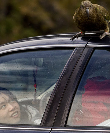 KEA HAS LANDED: Ashaa Hsieh watches a kea perched on her car.