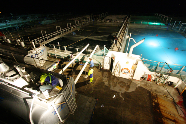 Clean out : 56,000 juvenile salmon are flushed from temperature controlled tanker trucks into a pen at King Salmon's Te Pangu farm.