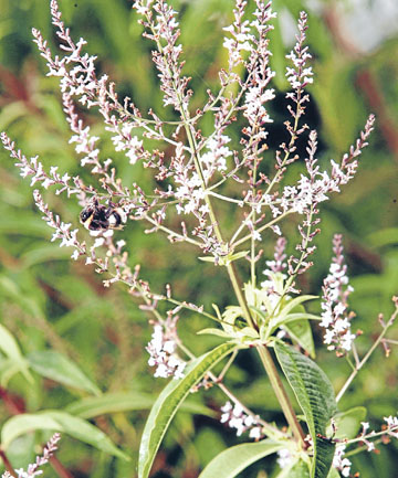 MY FAVOURITE: Lemon verbena is a temperamental plant, but very hardy.