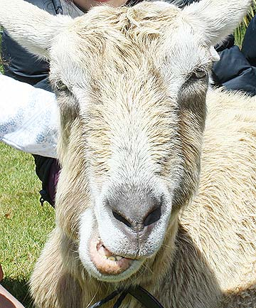 GOAT FOR TEA? A goat fed on household scraps can provide a great source for a meal as well.