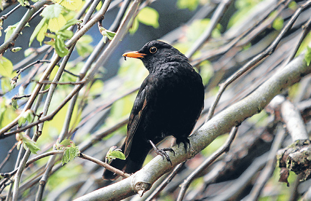 HUNTER AND GATHERER: A male blackbird in his endless pursuit of food for his youngsters.