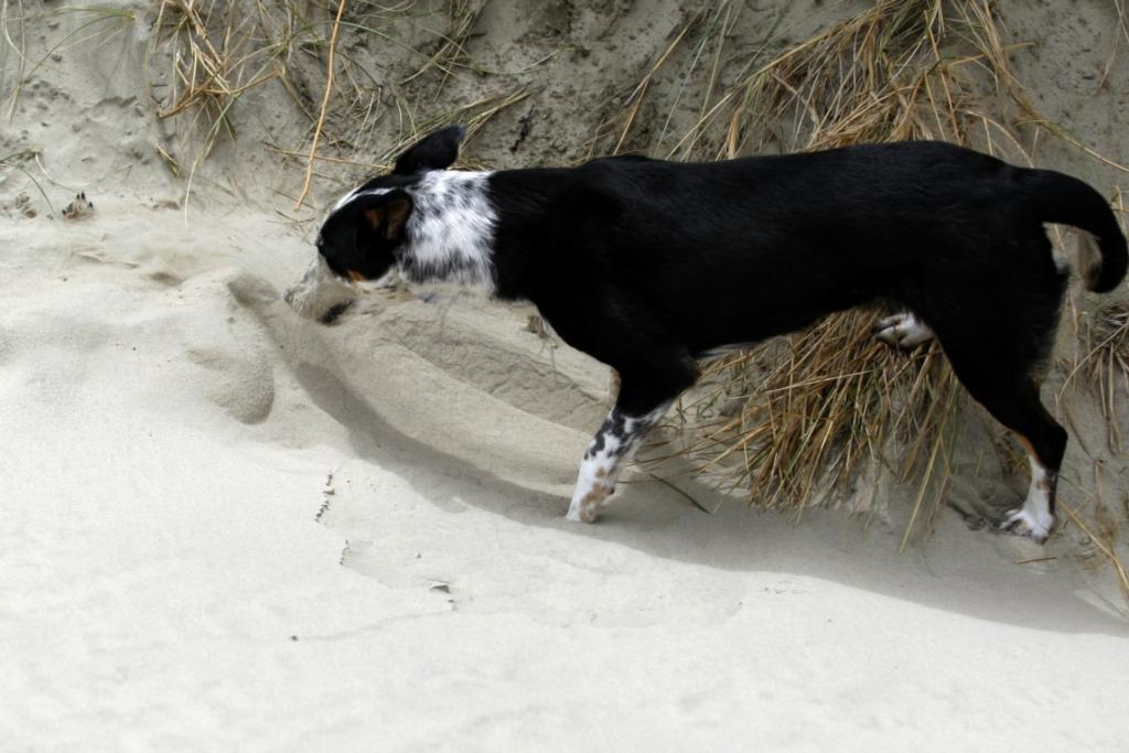 June spent 10 minutes using her nose to bury a dead dog found on Oreti Beach, near Invercargill.