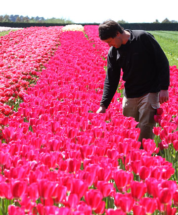 John van Eeden with the last of the tulips on his plantation outside Invercargill.