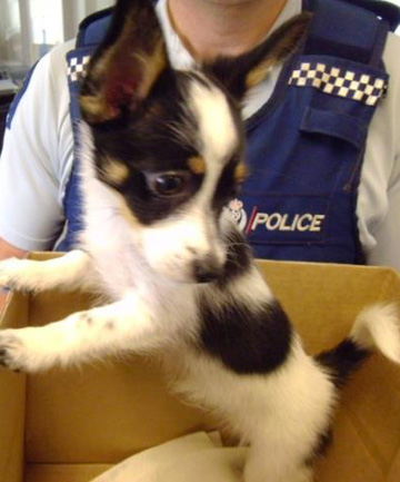 Constable Ian Cornelius of Thames Police was one of three officers who delivered this little puppy back to the vet clinic, where staff are thinking of naming him ''Hijinx''.